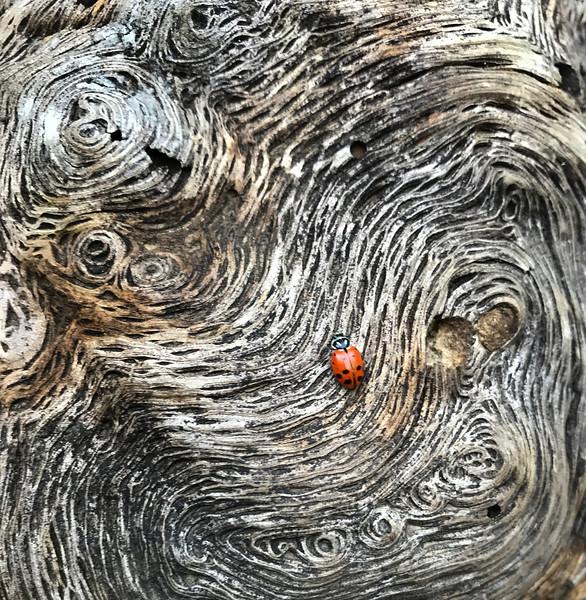 Ladybug in Maze