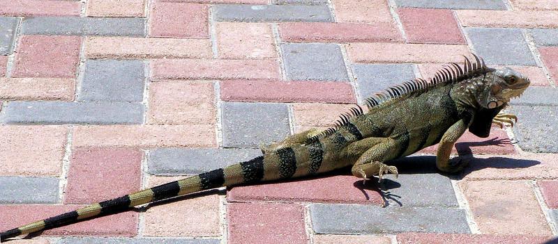 Large Iguana I.jpg