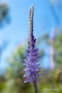 Lavender (Lavandula sp.)