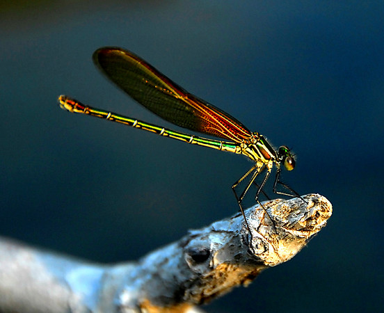 Dragon and Damsel Flies