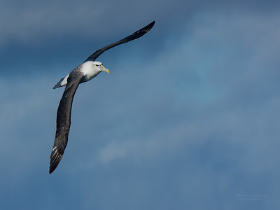 Albatrosses (Diomedeidae)
