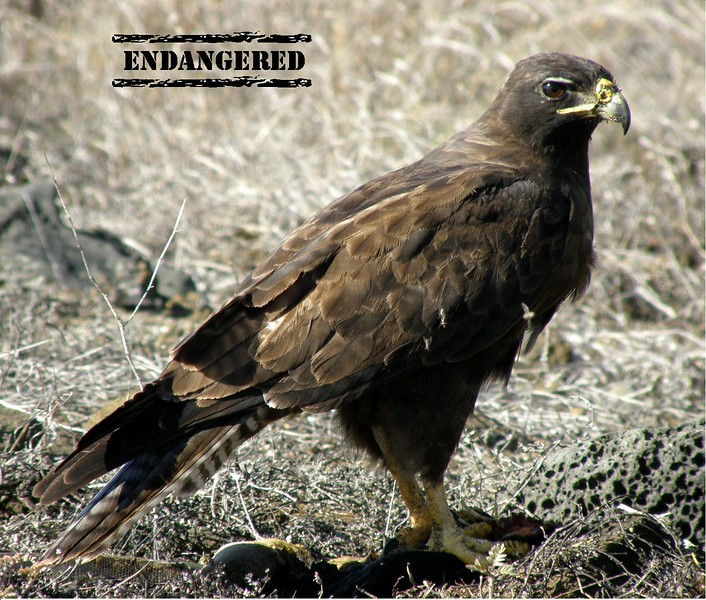 ENDANGERED PAGE WITH STAMP - HAWK.jpg
