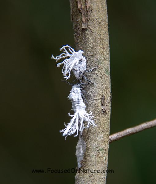 Flatid Leaf Bugs - Nymphs