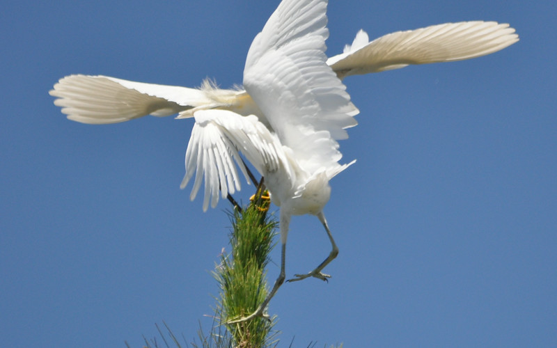 Egret Antics 7.JPG