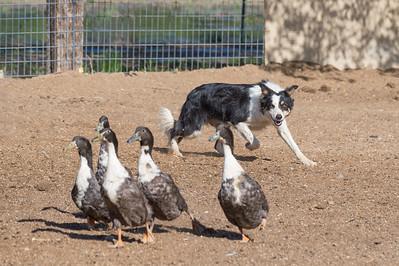 Saturday May 8 - Stockdog Trials