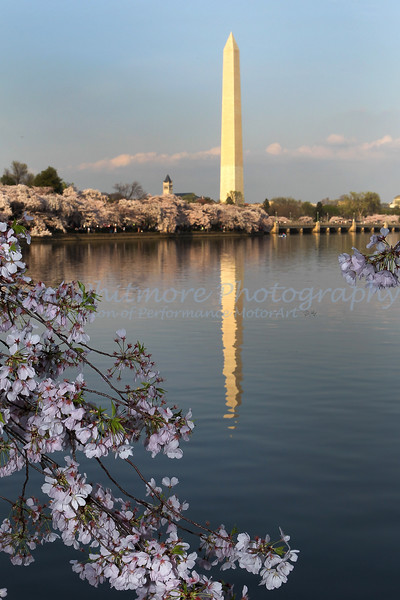 Washington Monument with Cherry Blossoms.