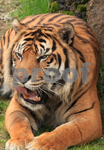 Sumatran tiger 2685.jpg