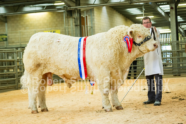 Charolais Show and Sale at Welshpool - November 8th 2018