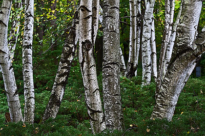 Family Betulaceae - Birch and Alder Trees
