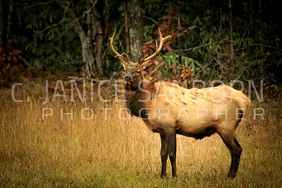 The Great Smoky Mountains NP: Elk in the Cataloochee Valley