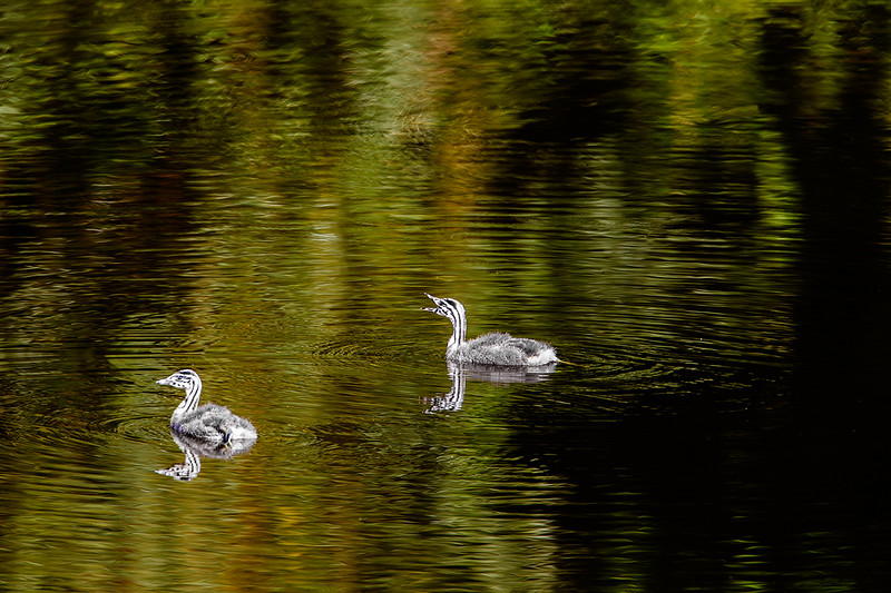 Great Crested Grebe Chicks