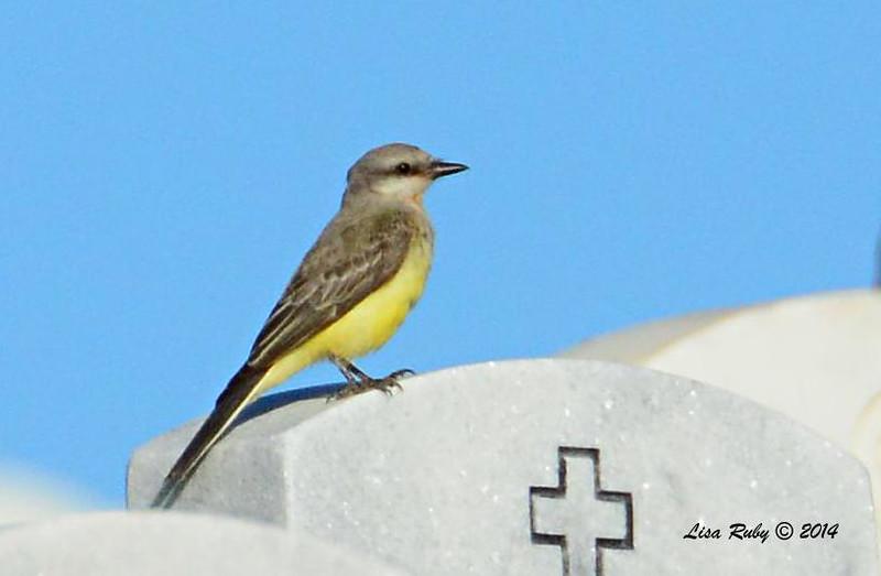Kingbird - Western or Cassin's? - 9/14/2014 - FRNC