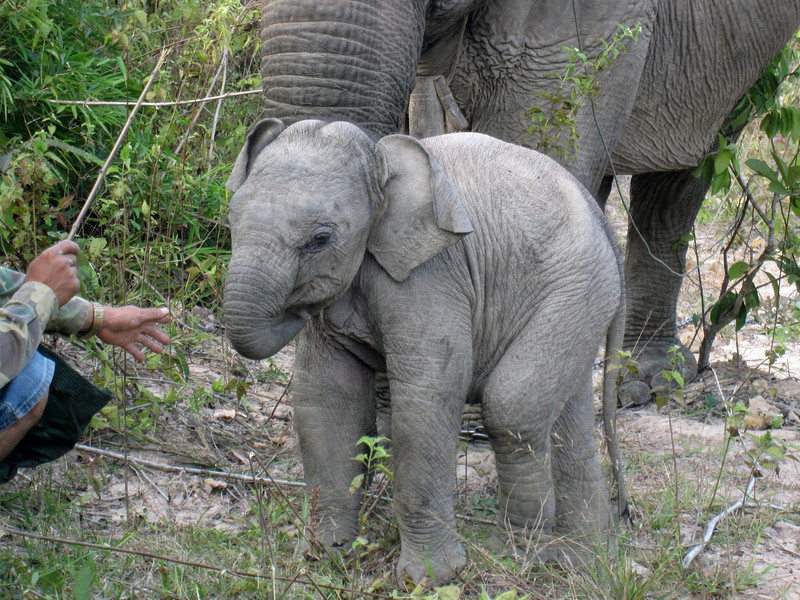 The baby elephant walking around, eating and playing.