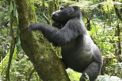 2016/12 - Uganda:  Bwindi Impenetrable Forest