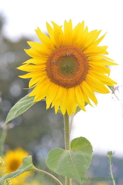 Sunflower Lonay_20092020 (67).JPG