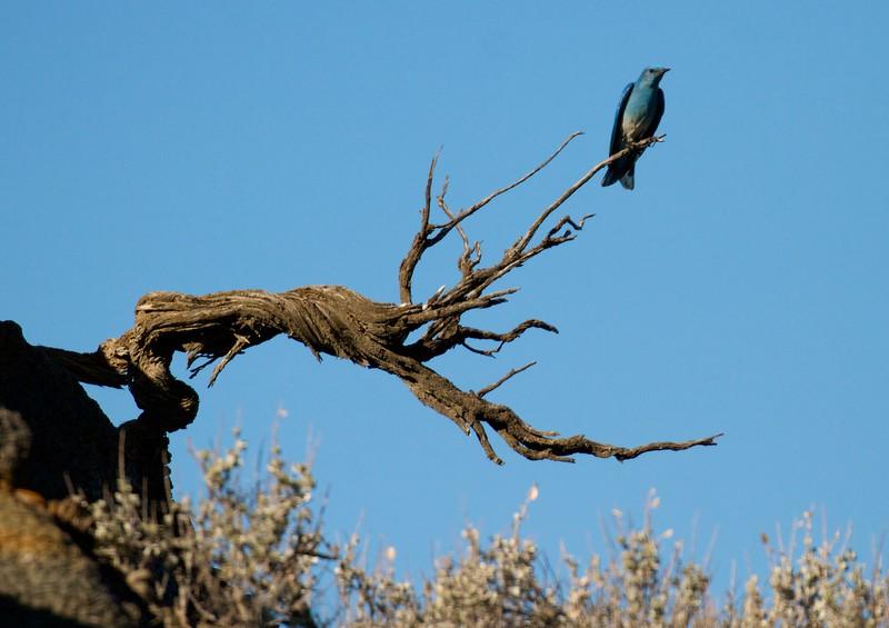 Mountain Bluebird Teddy Roosevelt National Park Medora ND IMG_6449.jpg