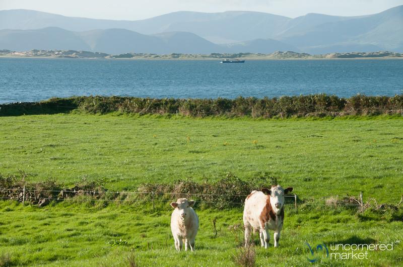 Cows on the Dingle Peninsula - County Kerry, Ireland