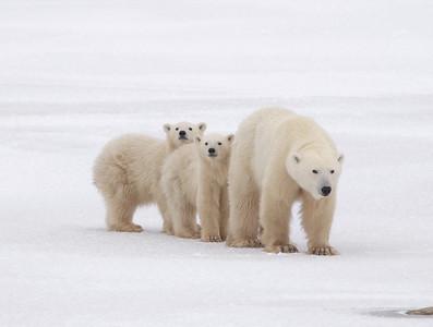 POLAR BEARS - CHURCHILL MANITOBA CANADA