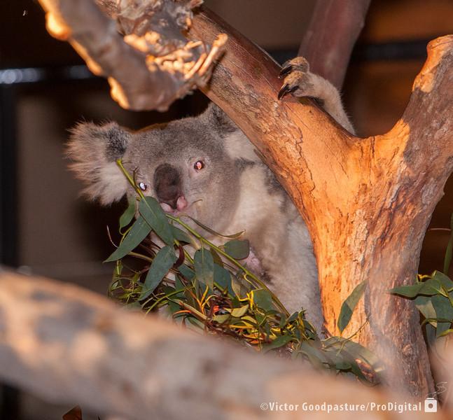 Koalafornia-26.jpg