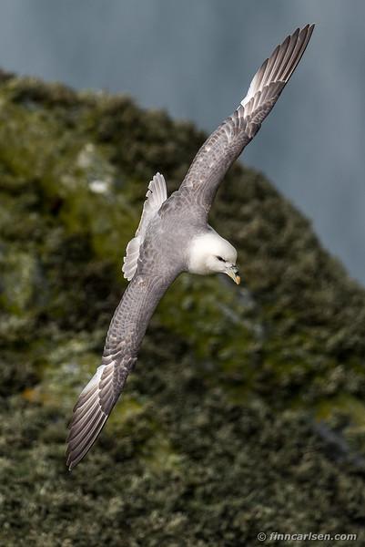 Mallemuk (Fulmarus glacialis - Northern fulmar)