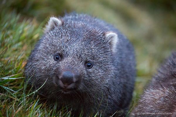 Wombat・・ウォンバット
