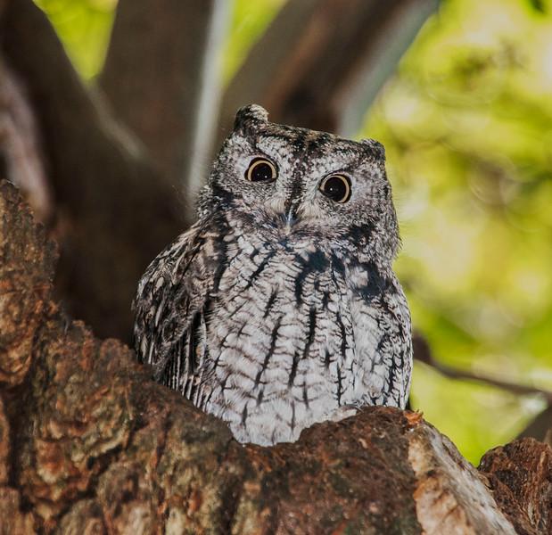 Ashland Owl_Lithia Park-1.jpg