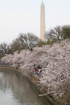 Cherry Blossoms 2017