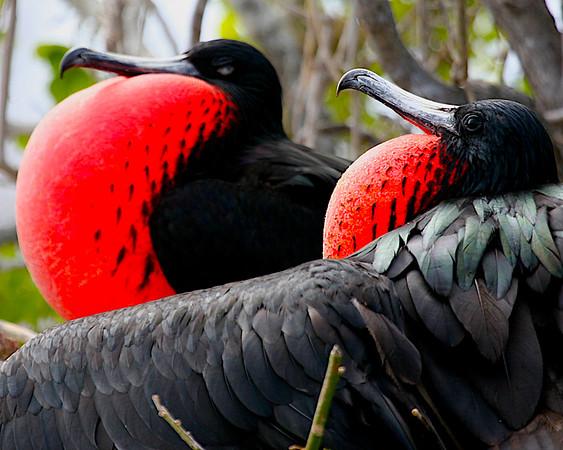 FREGATIDAE Frigatebirds