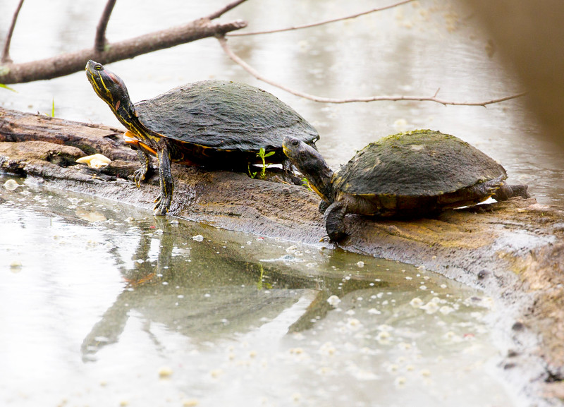 Two Red Eared Sliders on a log