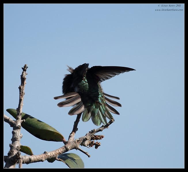 Anna's Hummingbird, Dana Point Park, Orange County, California, February 2011