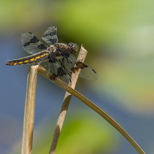 Dragonflies, bees.....