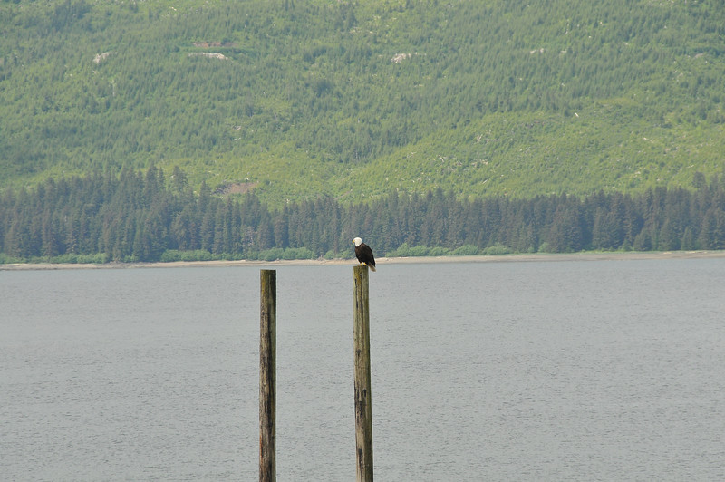 Eagle at Icy Strait Point