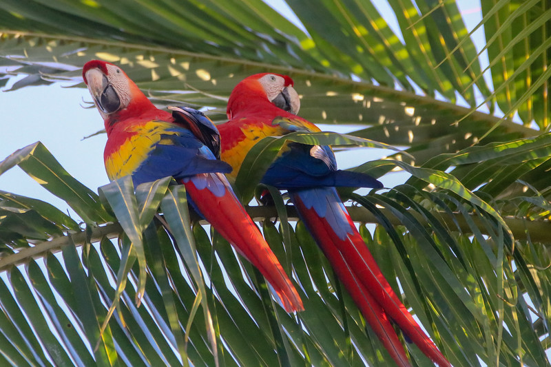 Two Macaws in a Tree.