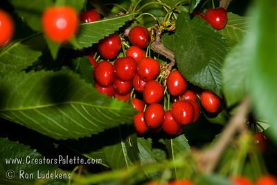 Garden Bing Dwarf Cherry - Prunus avium sp.