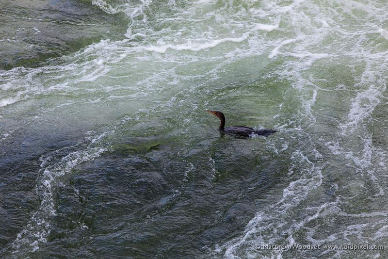Woodget-140317-050--rapids, water - scenery, waterfowl.jpg
