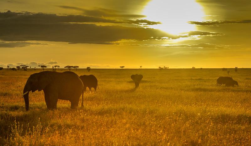 Field-of-gold-elephants-serengeti-africa.jpg