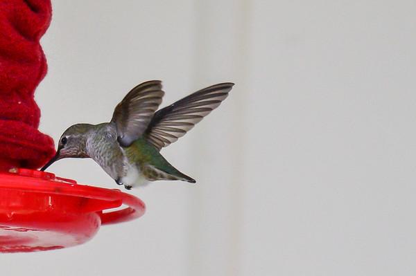 11 2012 Nov 5  Anna's Hummingbird & Birds Having Fun