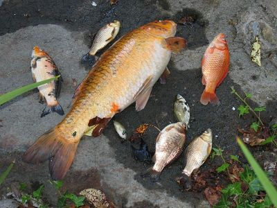Dead fish from WL pond