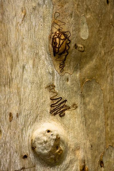 Eucalyptus signata