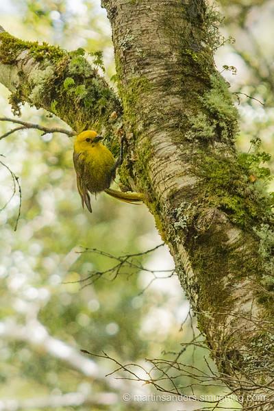 Yellowhead - mohua