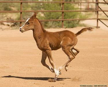 Arabian Filly - Born 1AM Sunday, March 30,2008