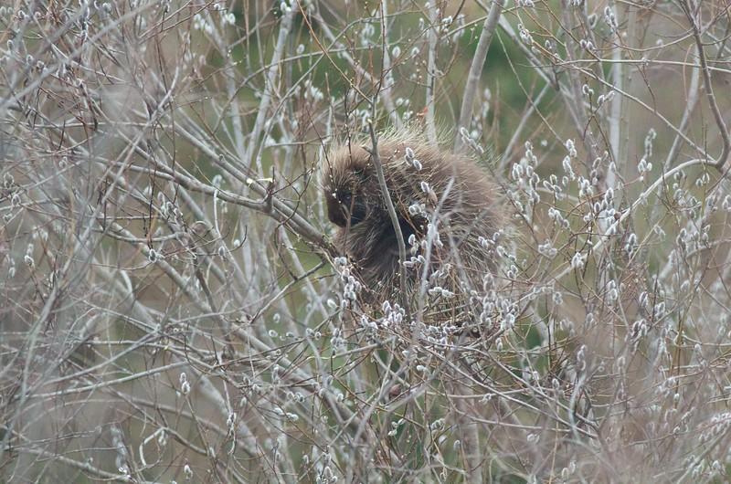 Porcupine in willows catkins flowers Arkola Sax-Zim Bog MN IMG_6373.jpg