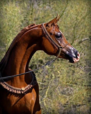 Rabi Arabians