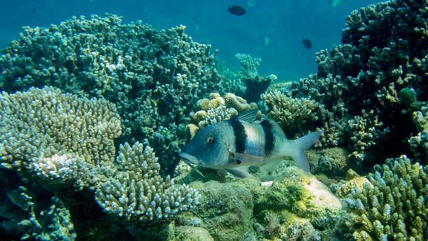 Doublebar Goatfish, Parupeneus bifasciatus