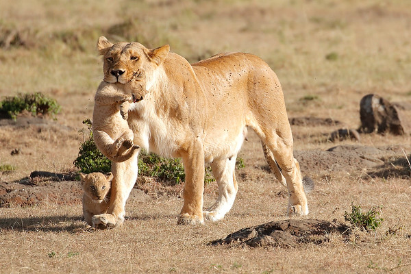 Mother Lion Transports Lion Cubs Mara Kenya 2015