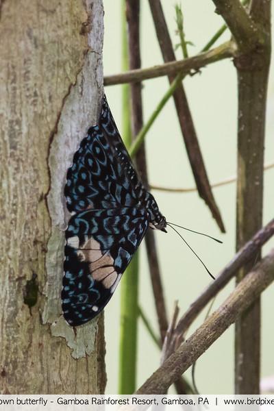 Unknown butterfly - Gamboa Rainforest Resort, Gamboa, PA