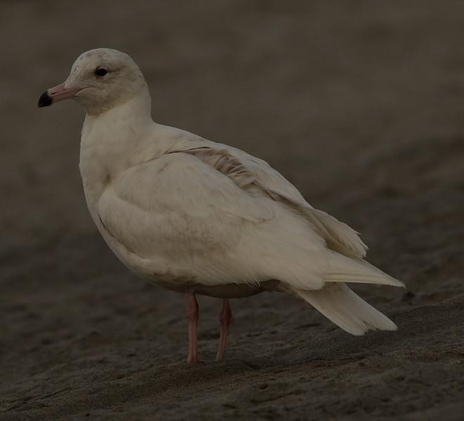 Glaucous Gull Oceanside  2014 02 26-1.CR2