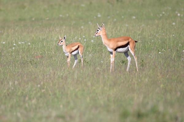 Thompson's Gazelle Mara Kenya 2018