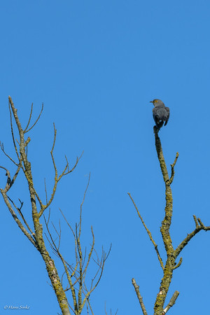 Cuckoo, Common (spp. canorus)