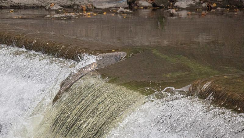 salmon upstream (26 of 48).jpg